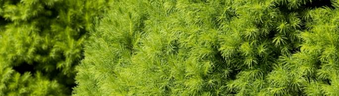 December Plant Pick Dwarf Alberta Spruce Sloat Garden Center